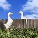 Conversational -ducks talking